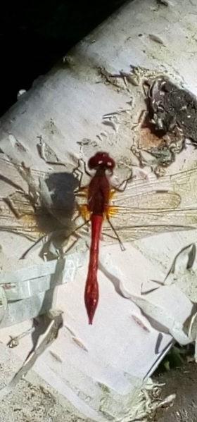 130a-Woodhall-Spa-Dragonfly-413x600 thin